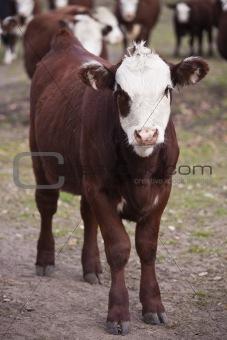 Cattle portrait