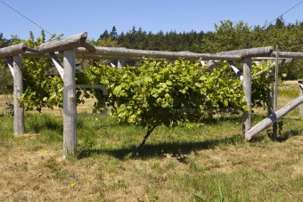 Grapevine On Wood Trellis