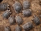 Baby Giant Tortoises