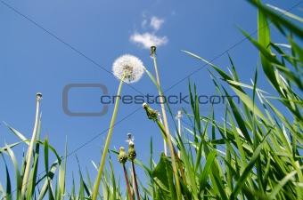 old dandelion