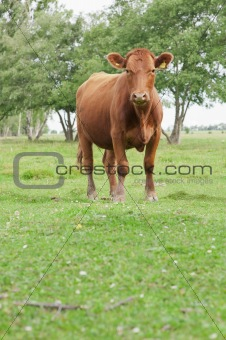 Cow in a field looking at camera