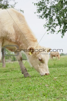 Grazing cow in a field