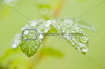 Green rose leaves with raindrops