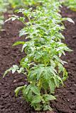 Row of tomato