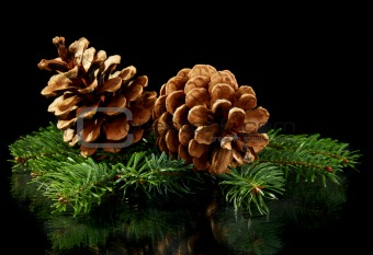 Green spruce branches and cones.
