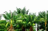 Green jungle palm treetops