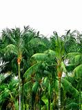 Tropical palm treetops
