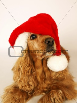 brown cocker spaniel with red christmas hat 2