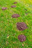 molehills on grass in autumn garden