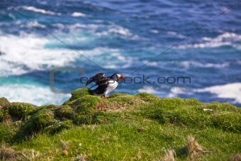 Atlantic Puffin spreading wings