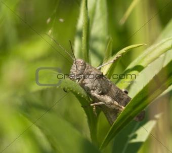Gray grasshopper among a green grass