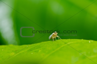 Aphid insect in green nature