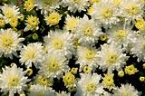 White and yellow chrysanthemums in a garden