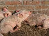 Small piglets