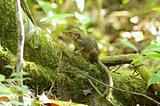 northurn treeshrew