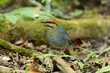 male blue pitta