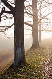 Linden tree trunks sunk in fog. Autumn trees alley