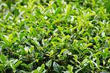 Japanese green tea plant