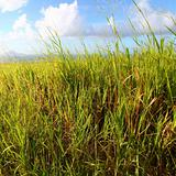 Sugar Cane fields of Saint Kitts