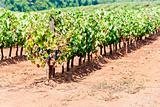 vineyars in Alentejo, Portugal