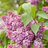 blooming purple lilac