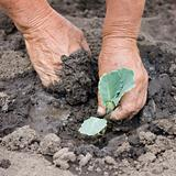 Real planting sprout of cabbage with dirty hands