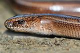 Slow worm lizard on sand
