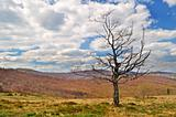 Lonely dying tree in the mountains