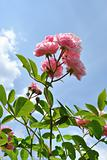 The pink flowers of rose against light blue sky