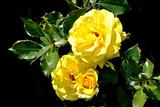 The yellow rose against black background
