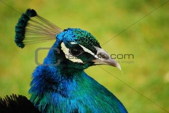 Peacock head close-up