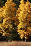 Autumn Poplar Trees