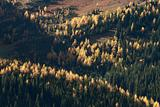 Autumn Alpine Larch Trees