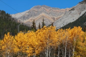 Autumn Poplar Trees and Mountains