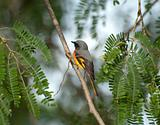 small minivet