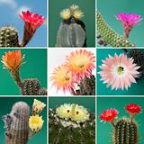 Collage blossom of cactus