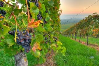 Grapes at a vine