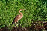red heron (ardea purpurea)