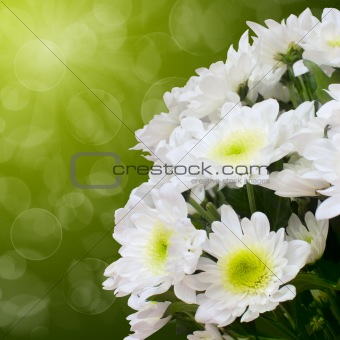 Beautiful white chrysanthemum