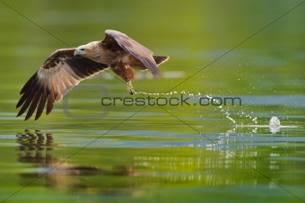 brahminy kite hunting in the lake