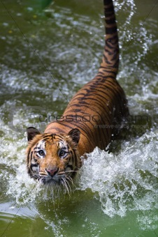 tiger on river staring at camera