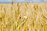 gold barley