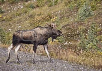 Bull Moose Alberta