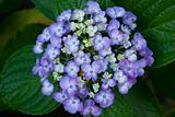 Hydrangea flowers close-up