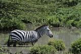 Zebra in the water.