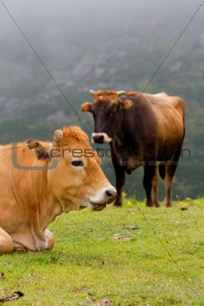 Brown Cow of Asturias (Northern Spain).