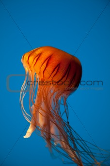Floating Orange Jellyfish on Bright Blue Background
