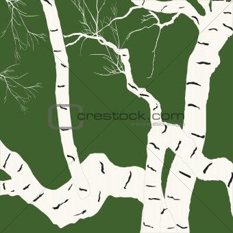 Aging birch