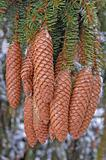 Fir Cones hanging on a Tree