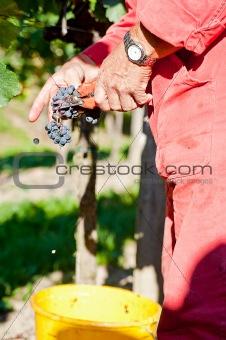 cutting blue wine grapes